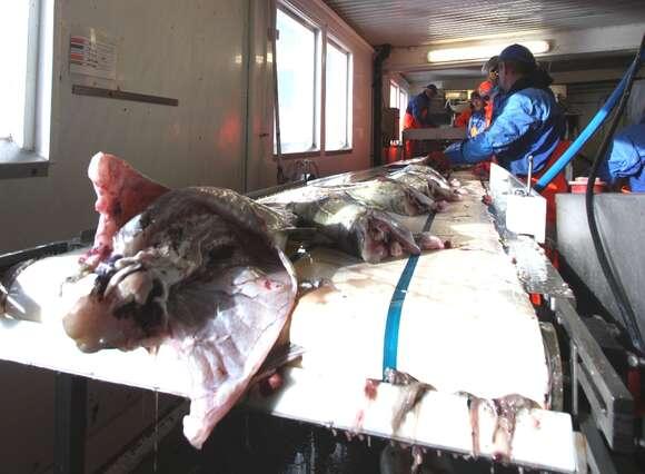 Storbritannia daterer mye fisk